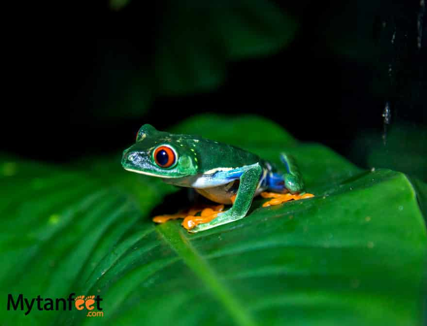 Rainforest Adventures Costa Rica Atlantic - red eyed tree frog from night walk