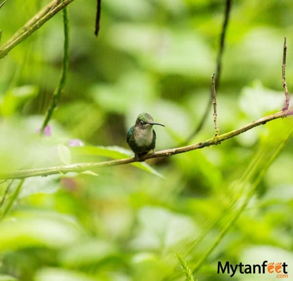 Rainforest Adventures Costa Rica Atlantic - white throated mountain gem