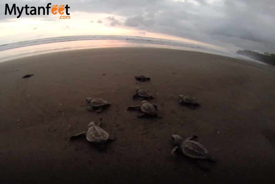 things to do in Guanacaste - Ostional Wildlife Refuge to see Olive Ridley sea turtles