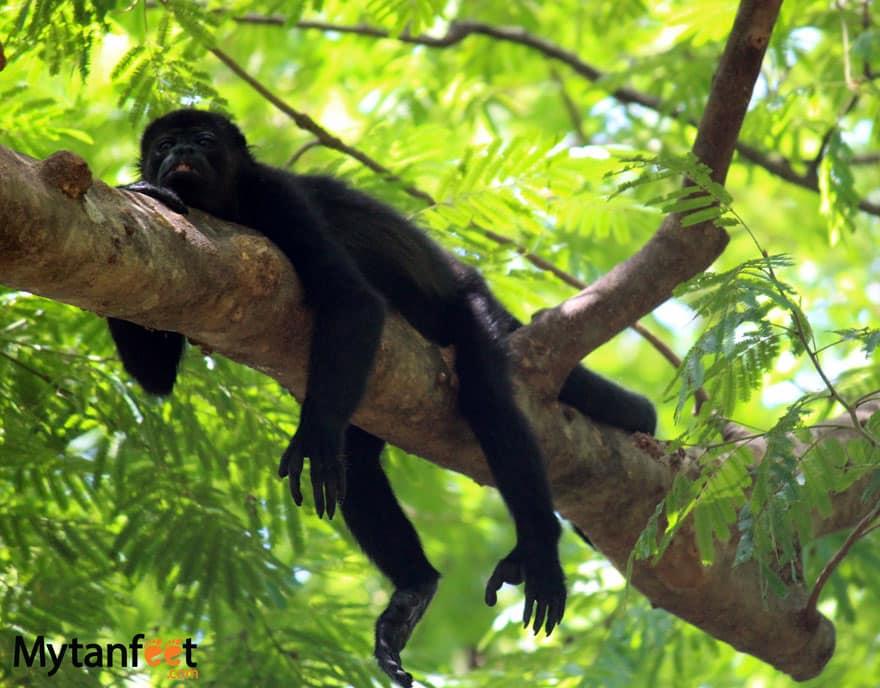 sleeping howler monkey