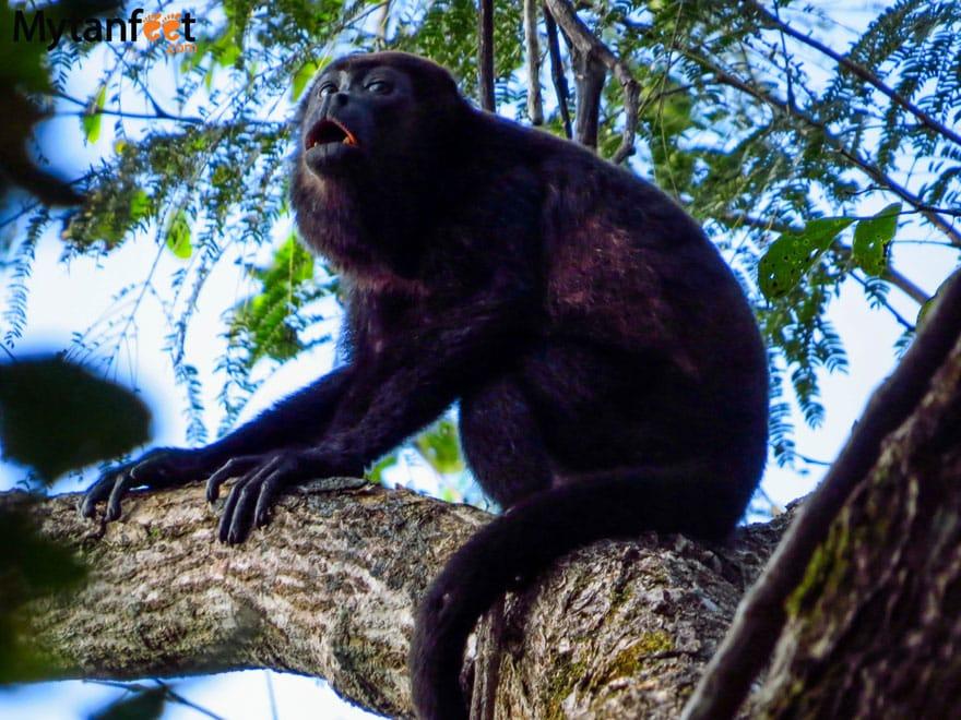 Monkeys in Costa Rica - Howler Monkey