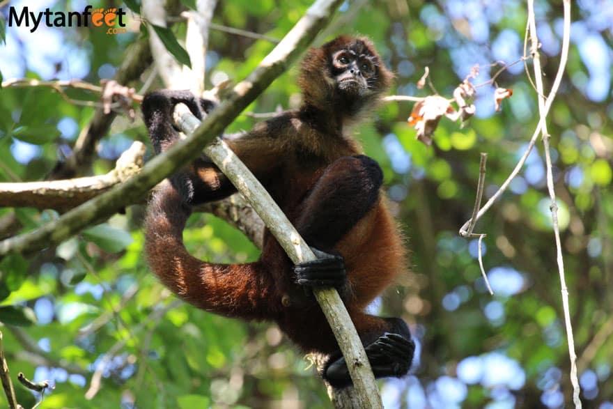 Monkeys in Costa Rica - Spider monkey