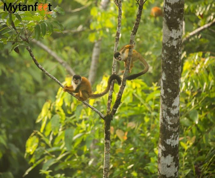Monkeys in Costa Rica - Squirrel monkeys