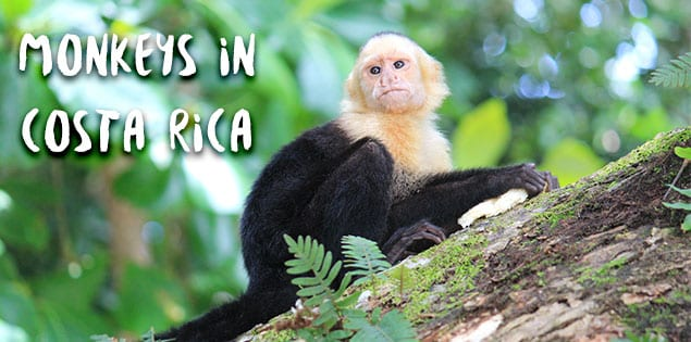 Monkeys in Costa Rica: Where to see the 4 species of monkeys