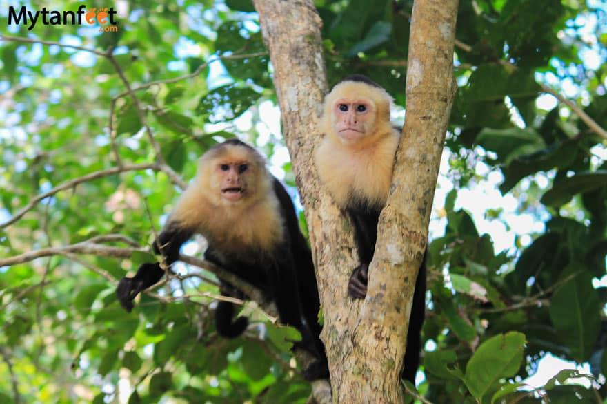Monkeys in Costa Rica - white face or capuchin monkeys