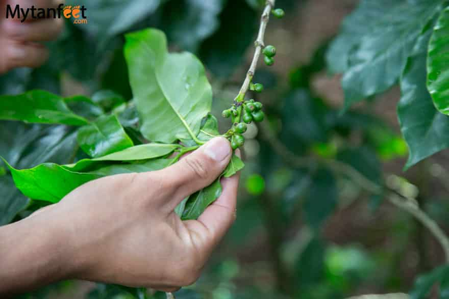 Day trips from San Jose, Costa Rica - coffee tour