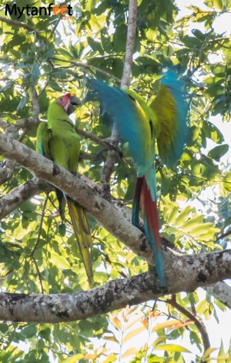 Tortuguero National Park - Great Green Macaws