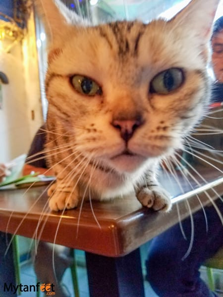 Things to do in Taipei, Taiwan - visit a cat cafe