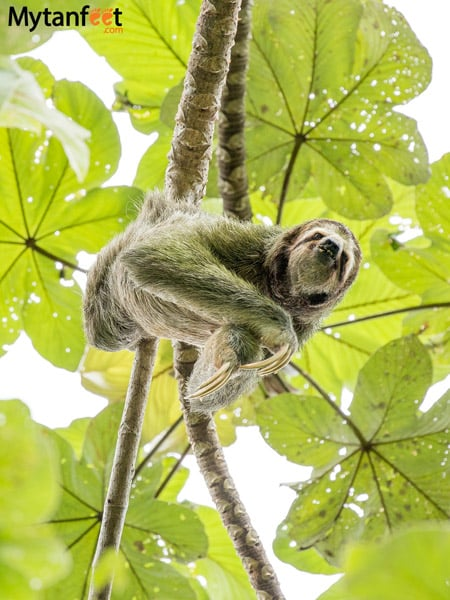 things to do in Manuel Antonio - sloth