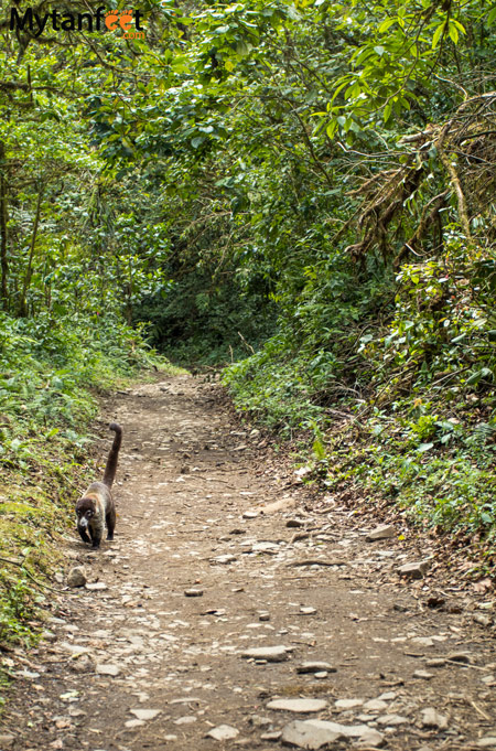 Hiking Monteverde Cloud Forest Reserve - coati