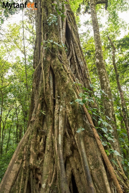 Hiking Monteverde Cloud Forest Reserve - ficus