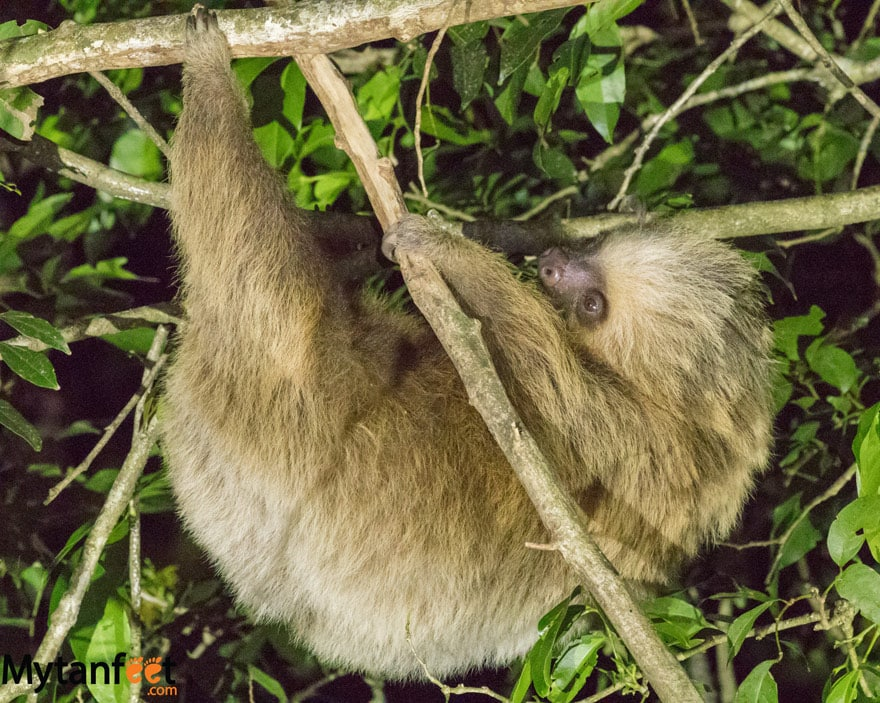 Night tour in Monteverde - 2 toed sloth