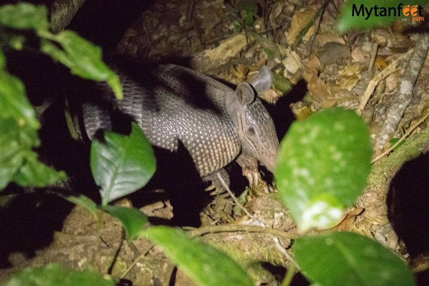 Night tour in Monteverde - armadillo