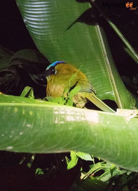 Night tour in Monteverde - awake blue crowned motmot