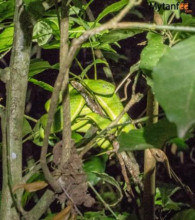Night tour in Monteverde - green viper
