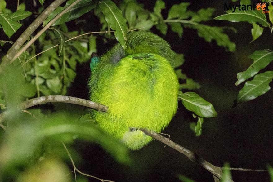 Night tour in Monteverde - sleeping emerald toucanet