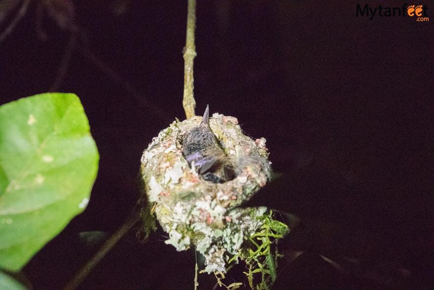 Night tour in Monteverde - sleeping hummingbird