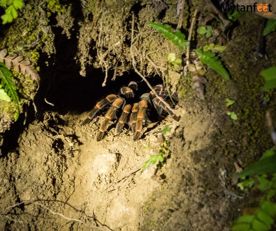 Night tour in Monteverde - tarantula