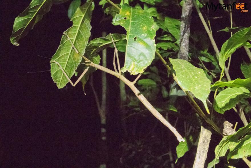 Night tour in Monteverde - walking stick
