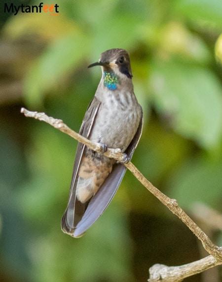 curi cancha reserve - Hummingbird Brown Violet ear
