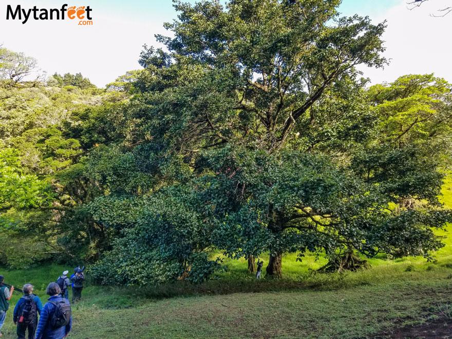 curi cancha reserve - Resplendant Quetzal avocado tree