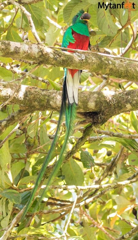 curi cancha reserve - Resplendant Quetzal