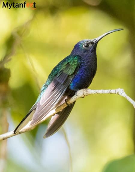 curi cancha reserve - Violet Sabrewing Hummingbird