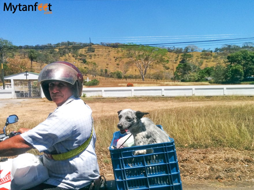 Ultimate survival guide to traveling in costa rica - driving dog
