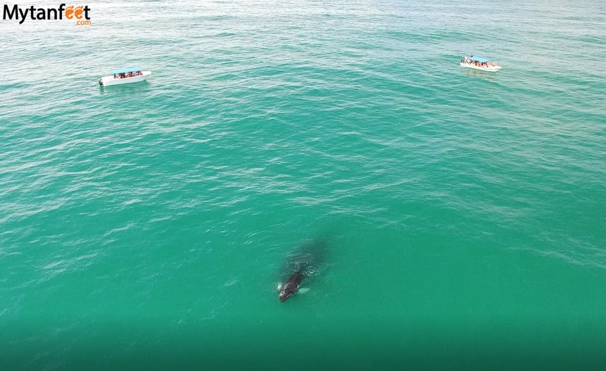 humpback whales in Uvita - Costa Rica Whale watching tours