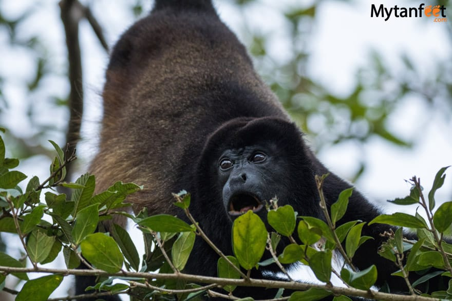 Mistico Arenal Hanging Bridge - howler monkey