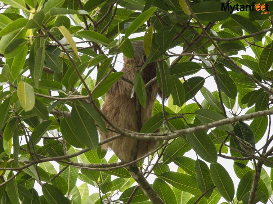 Rio Penas Blancas Safari Float -sloth
