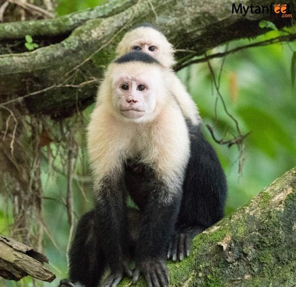 RIo Penas Blancas Safari Float from La Fortuna - white face monkey