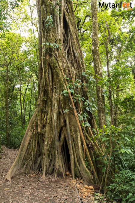 Things to do in Monteverde - climb up a ficus tree