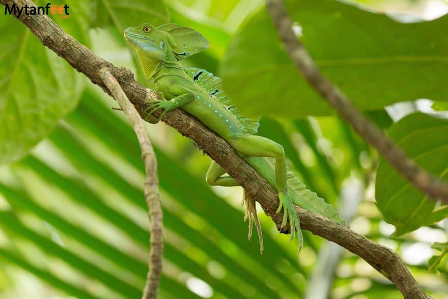 Cahuita National Park Animals - Jesus Christ Lizard male Cahuita