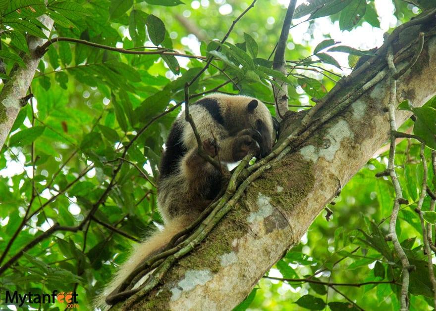 Jaguar Rescue Center Puerto Viejo Costa Rica