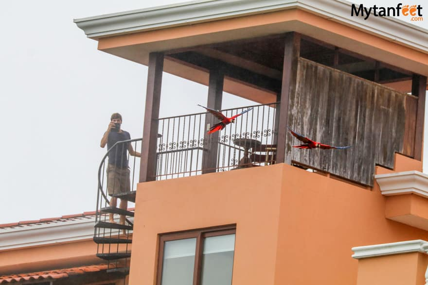 Tulemar vacation rentals and resort - scarlet macaws