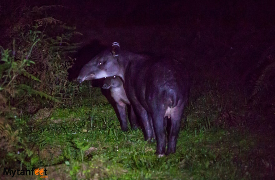 Tapir valley night walk - mom and baby tapir