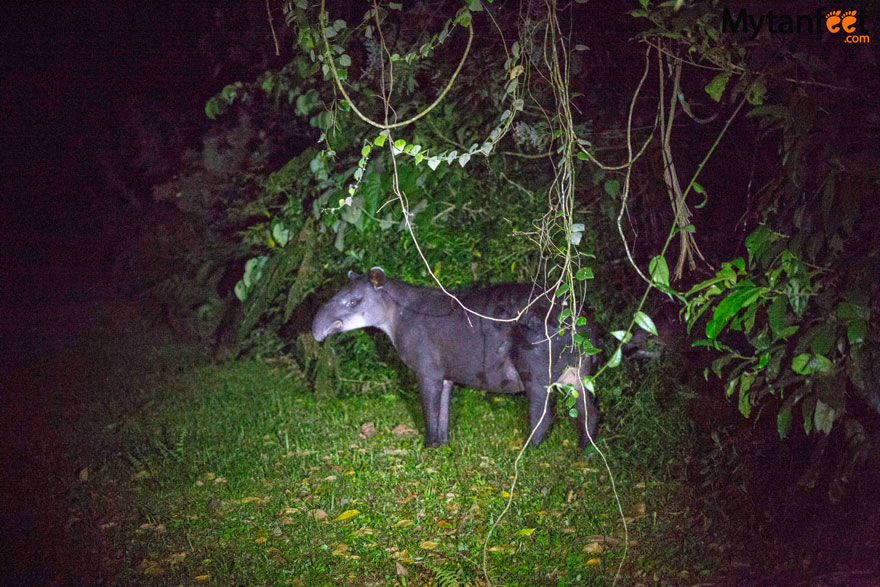Tapir valley night walk - tapir