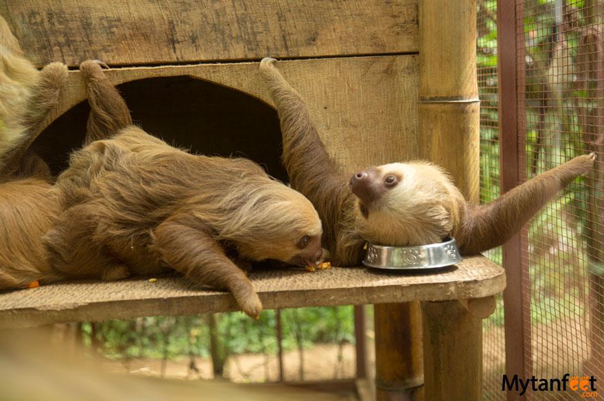 Jaguar Rescue Center sloths