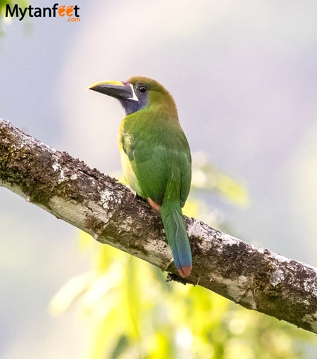 Where to see toucans in Costa Rica - Emerald Toucanet