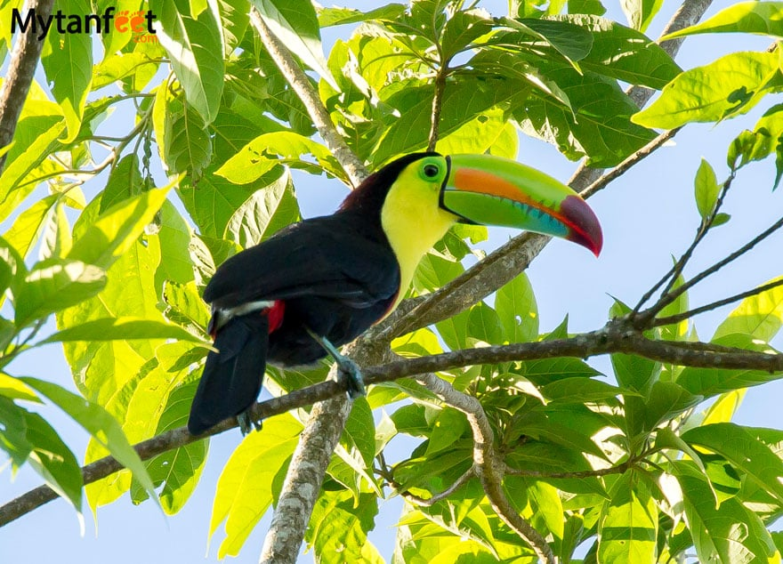 Where to see toucans in Costa Rica - keel billed toucan