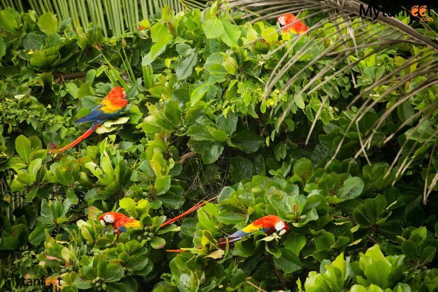Scarlet Macaws