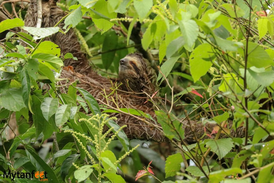 Manuel Antonio The sloth institute tulemar sloth walk tulemar