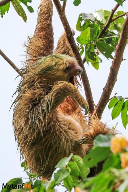 Manuel Antonio The sloth institute tulemar sloth walk