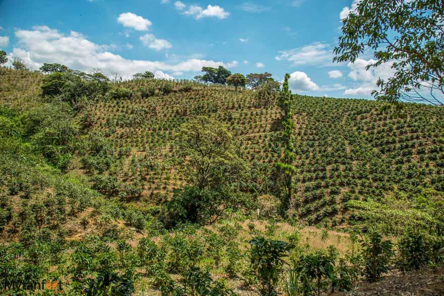 Costa Rican coffee plantations