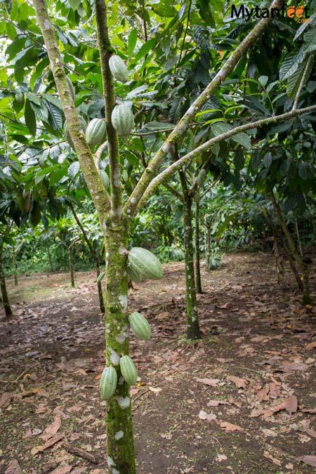 Rainforest Chocolate Tour La Fortuna - cacao tree