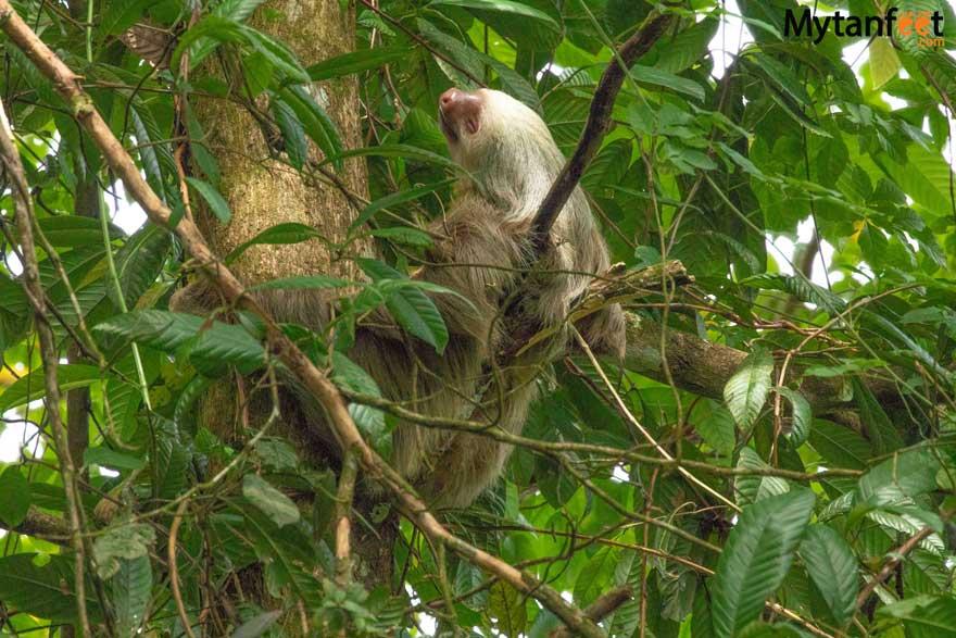 2 fingered sloth on Bogarin Trail