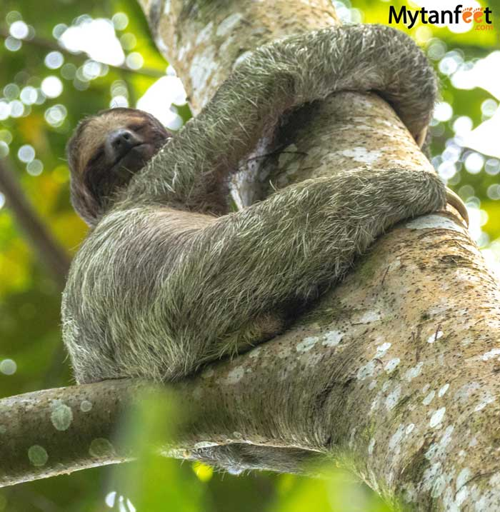 3 fingered sloth mom on Bogarin Trail