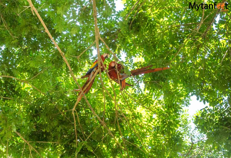 Playa Pochote Costa Rica - Scarlet Macaws