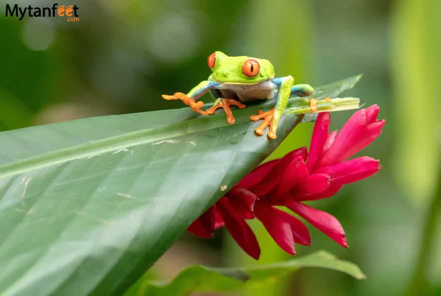 Red eyed tree frog on Bogarin Trail